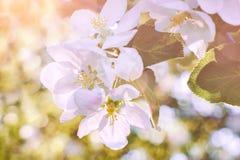 Okwitnięcia drzewo nad natury background/wiosną, wiosny tłem kwitnie/ Zdjęcie Stock
