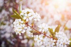 Okwitnięcia drzewo nad natury background/wiosną, wiosny tłem kwitnie/ Obraz Stock
