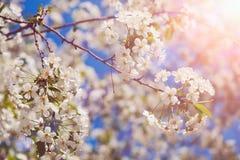Okwitnięcia drzewo nad natury background/wiosną, wiosny tłem kwitnie/ Zdjęcie Royalty Free
