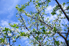 Okwitnięcia drzewo nad natury tłem obrazy royalty free