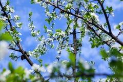 Okwitnięcia drzewo nad natury tłem zdjęcia royalty free