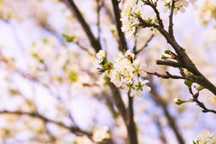 Okwitnięcia drzewo nad natury tłem wiosna kwiat Wiosna plecy Obrazy Royalty Free