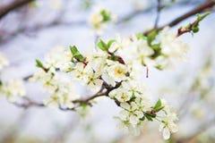 Okwitnięcia drzewo nad natury tłem wiosna kwiat Wiosna plecy Obraz Royalty Free