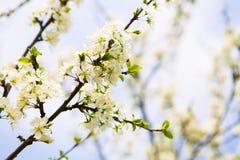 Okwitnięcia drzewo nad natury tłem wiosna kwiat Wiosna plecy Zdjęcie Royalty Free