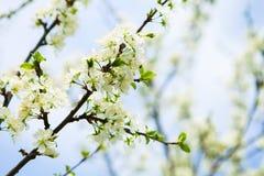 Okwitnięcia drzewo nad natury tłem wiosna kwiat Wiosna plecy zdjęcie stock