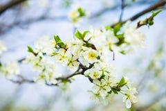 Okwitnięcia drzewo nad natury tłem wiosna kwiat Wiosna plecy Obraz Stock
