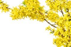 okwitnięcia graniczą wiosna kolor żółty Zdjęcie Royalty Free