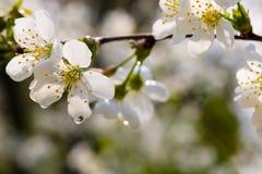 okwitnięcia jabłczany drzewo Obraz Stock