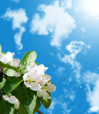 okwitnięcia jabłczany drzewo fotografia stock
