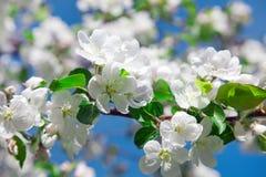okwitnięcia jabłczany zakończenie kwitnie drzewa jabłczany Zdjęcie Royalty Free
