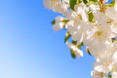 okwitnięcia jabłczany zakończenie kwitnie drzewa jabłczany Biała wiosna kwitnie zbliżenie kosmos kopii Zdjęcia Royalty Free