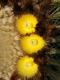 Okwitnięcia kaktus zdjęcie stock