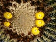 Okwitnięcia kaktus 2 zdjęcie stock