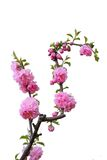 okwitnięcia kwiatu odosobniona brzoskwinia Zdjęcia Royalty Free