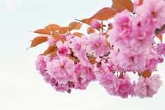 okwitnięcia piękny drzewo Natury scena z słońcem na słonecznym dniu wiosna kwiat Abstrakta zamazany tło w wiośnie Zdjęcie Royalty Free