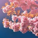 okwitnięcia piękny drzewo Natury scena z słońcem na słonecznym dniu wiosna kwiat Abstrakta zamazany tło w wiośnie Fotografia Royalty Free