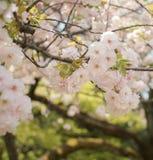 Okwitnięcia Sakura kwiat w wiośnie Obrazy Royalty Free