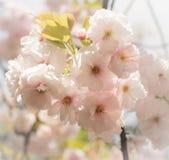 Okwitnięcia Sakura kwiat w wiośnie, Japonia Zdjęcia Royalty Free
