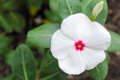 okwitnięcia sedna kwiatu zieleni liść menchii biel Zdjęcie Stock