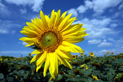 okwitnięcia szczegółu słonecznika kolor żółty Obraz Stock