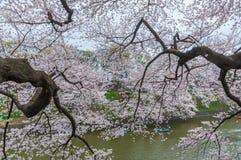Okwitnięcia viewing łodzią, Tokio, Japonia Obrazy Royalty Free