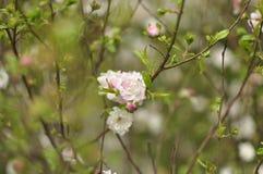okwitnięcia wiśni menchii drzewo Obrazy Royalty Free