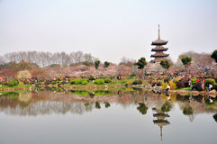okwitnięcia wiśni ogród Wuhan Zdjęcia Royalty Free