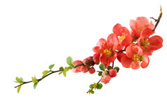 okwitnięcia wiśni pomarańcze Zdjęcia Stock