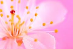 okwitnięcia wiśni zakończenie fotografia stock
