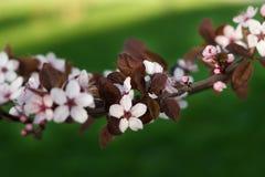 Okwitnięcia wiosen wiśnie, menchie kwitną na zielonym tle fotografia stock