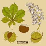 Okwitnięcie Cisawa Botaniczna Wektorowa ilustracja Zdjęcia Stock