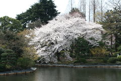 okwitnięcie czereśniowy japoński jeziorny Sakura Obrazy Royalty Free