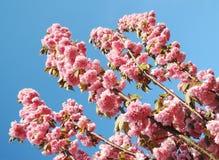 okwitnięcie czereśniowy japoński Sakura Zdjęcia Royalty Free