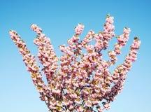 okwitnięcie czereśniowy japoński Sakura Obrazy Royalty Free