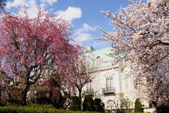 okwitnięcie czereśniowy japoński Sakura Obraz Stock