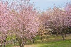 okwitnięcie czereśniowy japoński Sakura Ogrodowy dera obrzęk, Berlin Obrazy Stock
