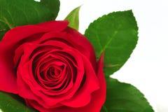 okwitnięcie czerwień wzrastał Obrazy Royalty Free