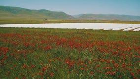 Okwitnięcie Czerwoni maczki w Ogromnym Śródpolnym kiwaniu w wiatrze na tle góry zbiory wideo