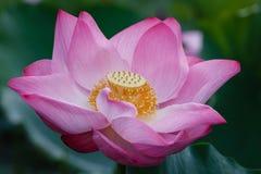 Okwitnięcie Czerwony Lotus Zdjęcia Royalty Free