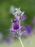 Okwitnięcie Eryngium Leavenworthii wildflower Obrazy Royalty Free