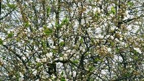 Okwitnięcie gałąź drzewo w wiośnie kiwają w wiatrze zdjęcie wideo