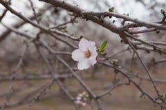 Okwitnięcie gałąź i kwitniemy wczesnego wiosna czas Zdjęcia Stock