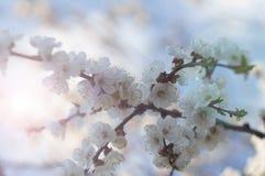 Okwitnięcie gałęziasty Sakura Fotografia Stock