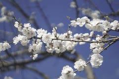 Okwitnięcie gałęziasty Sakura Zdjęcia Stock