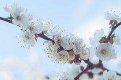 Okwitnięcie gałęziasty Sakura Obrazy Royalty Free