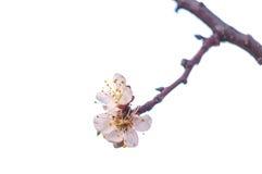 Okwitnięcie gałęziasty Sakura Obraz Royalty Free