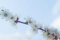 Okwitnięcie gałęziasty Sakura Zdjęcie Royalty Free