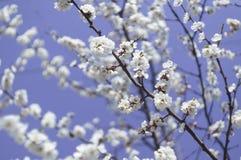 Okwitnięcie gałęziasty Sakura Zdjęcia Royalty Free