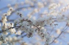 Okwitnięcie gałęziasty Sakura Zdjęcie Stock
