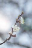 Okwitnięcie gałęziasty Sakura Obraz Stock